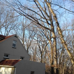 Tree Removal in Wilmington, Before
