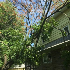 Aldan Tree Removal-Before