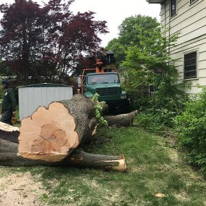 Tree laying in yard after being cut down