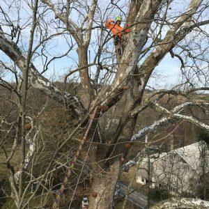 Pruning a tree in Glen Mills, PA
