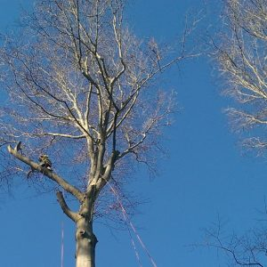 During Glen Mills Tree Removal Process