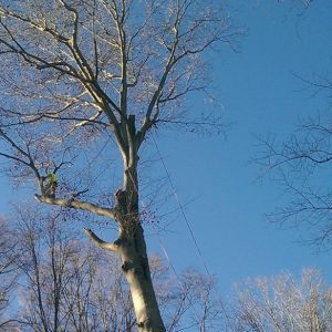 Taking Down a Tree in Glen Mills