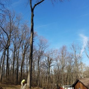 Unionville tree removal job