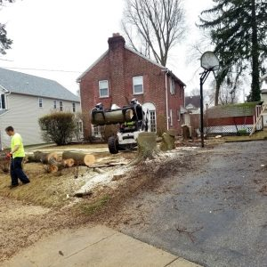 Taking down a tree in Havertown