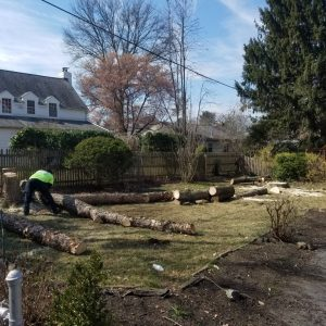 Swarthmore tree removal by Mr. Tree in progress