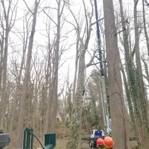 Safely removing a giant tulip poplar tree