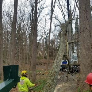 Mr. Tree takes down a poplar that is over 140 feet tall
