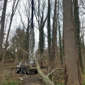 Cutting down a large tree