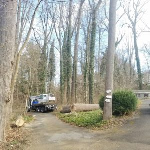 After Mr. Tree finished removing a 140 foot tall tulip poplar tree