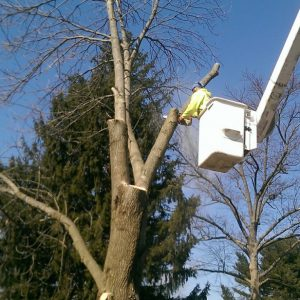Beginning the process of removing a tree in Swarthmore PA