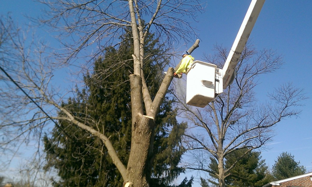 Swarthmore PA Tree removal by Mr. Tree