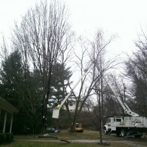 Removing the branches from the tree allows us to lower the trunk to the ground more safely