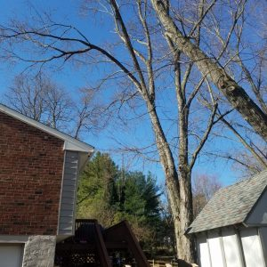 Concordville tree removal by Mr. Tree