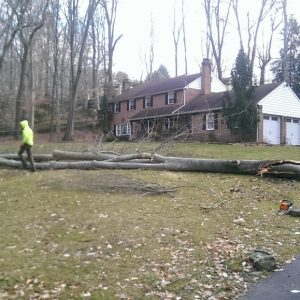 In the process of removing a tree in Chester County