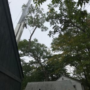 Taking down a red oak tree in Media, PA