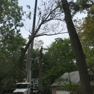Mr. Tree takes down three red oak trees in media, PA