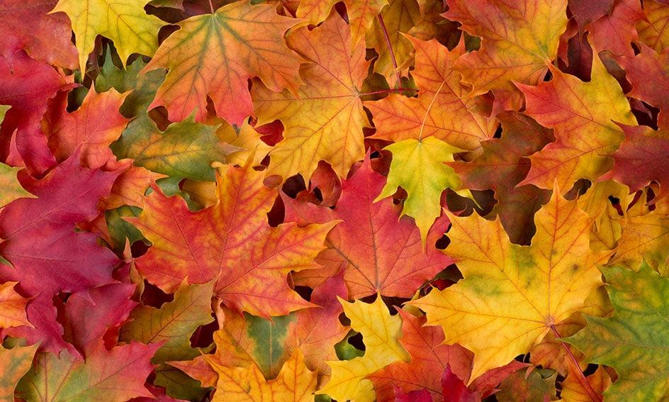 maple leaves banner