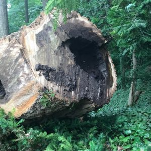 a humongous tree trunk