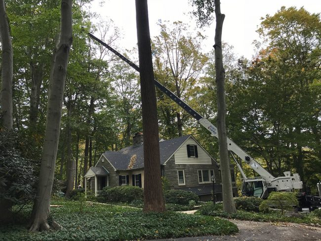 3 red oak trees getting removed with a crane