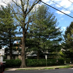 Before tree removal in Newtown Square